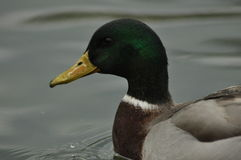 Mallard Duck. Wild bird floating on the lake. Portrait. Of the animal Stock Images