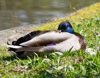 Mallard Duck. Wild Mallard Duck Drake (Anas platyrhynchos) resting on the grass Stock Photos