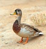 Mallard Duck, wild duck shooting outdoors. Closeup of drake. Mallard Duck, wild duck shooting outdoors. Closeup of a drake Stock Photos
