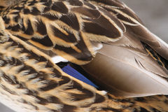 Mallard Duck Wing Feather Detail. A close up image of the wing and feather detail of a hen mallard duck Royalty Free Stock Photos