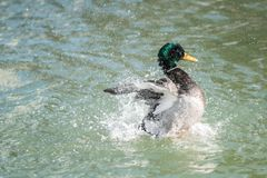 Mallard Duck Wings Spread Splash. A mallard duck spreading his wings while in a pond Stock Image