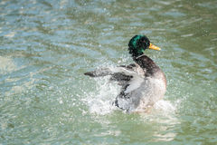 Mallard Duck Wings Spread Splash Stock Photo