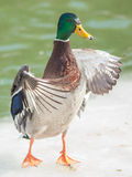 Mallard Duck Wings Spread Standing. A mallard duck spreading his wings while standing on ice Stock Images