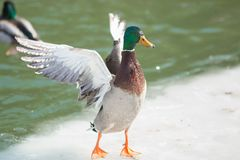 Mallard Duck Wings Spread Stretch. A mallard duck spreading his wings while standing on ice Royalty Free Stock Photo
