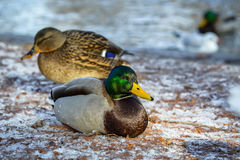 Mallard duck in winter. Mallards occur throughout North America and Eurasia in ponds and parks as well as wilder wetlands and estuaries stock photo