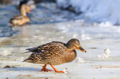 Mallard Duck In Winter. Mallards occur throughout North America and Eurasia in ponds and parks as well as wilder wetlands and estuaries Stock Images