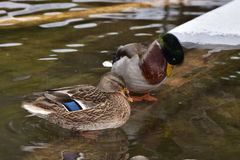 Mallard duck. In winter time,Bavarian forest,Germany Stock Photo
