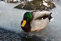 Mallard duck. In winter time,Bavarian forest,Germany Stock Images
