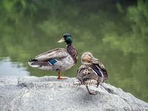 Mallard duck  & x28;Anas platyrhynchos& x29; Royalty Free Stock Photos