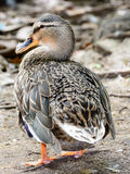 Mallard duck. Young Mallard duck in a zoo Stock Images