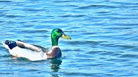 Mallard Duck Youtube Channel Art Banner. 2560 x 1440, Green head, on pond in NW Oklahoma City royalty free stock photos