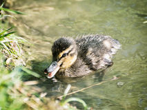Mallard duckling – Anas platyrhynchos – in the water, beauty. One Mallard duckling – Anas platyrhynchos – in the water. Bird scene. Beauty in nature Stock Photos