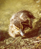 Mallard duckling – Anas platyrhynchos, photo filter. Mallard duckling – Anas platyrhynchos – in the water. Young one. Yellow photo filter Stock Image