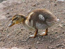 Mallard Duckling. Young Mallard duckling foraging for snacks Royalty Free Stock Images