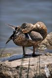 Mallard Duckling Royalty Free Stock Photos