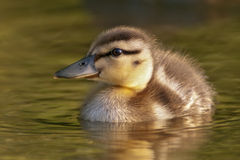Mallard Duckling. Close-up in warm light Stock Photography