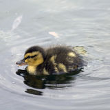 Mallard duckling. Side portrait of cute mallard duckling on lake or pond Royalty Free Stock Photo