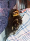 Rescued baby Mallard duckling being raised in captivity. Mallard duckling, Anas platyrhynchos. Cute days old baby duck. Rescued after being abandoned in the Stock Images