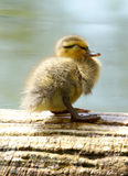 Mallard Duckling - Anas platyrhynchos. A fluffy yellow Mallard Duckling sleeping on a log in the mid day sun shine Stock Photos