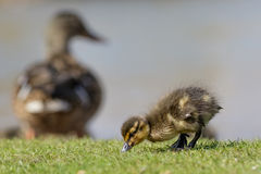 Mallard Duckling (Anas platyrhynchos). Grazing while mum watches over them Stock Image