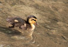 Mallard Duckling (Anas platyrhynchos). Lone duckling swimming in shallow water Stock Photo
