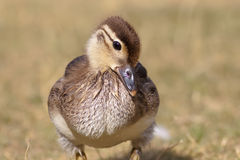 Mallard Duckling (Anas platyrhynchos) Royalty Free Stock Photos
