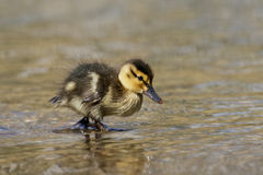 Mallard Duckling (Anas platyrhynchos). Wading through the shallow water Stock Photo