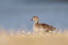 Mallard Duckling (Anas platyrhynchos). Walking in front of a lake in dried grass Stock Photos