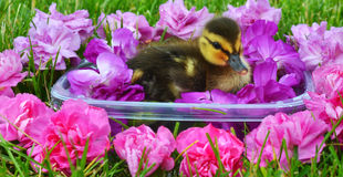 Mallard Duckling Bathing Beauty. A tiny Mallard duckling in the grass swimming in a small container filled with and surrounded by colorful flowers Royalty Free Stock Photo