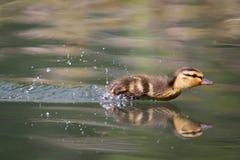Mallard Duckling Royalty Free Stock Photo