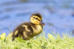 Mallard Duckling Stock Photography