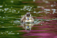 Mallard Duckling Stock Photos
