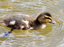 Mallard duckling. Cute Mallard duckling, swimming in the water during sunny weather Stock Image