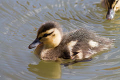 Mallard duckling. Cute Mallard duckling, swimming in the water during sunny weather Royalty Free Stock Photos