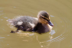 Mallard duckling. Cute Mallard duckling, swimming in the water during sunny weather Royalty Free Stock Image