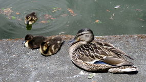 Mallard duckling Stock Images