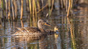 Mallard and Duckling Stock Image