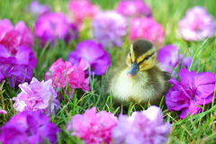 A Mallard Duckling among Flowers. A tiny Mallard duckling in the grass among colorful flowers Stock Photo