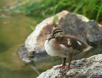 Mallard Duckling Getting Dry. By the water on the rock Stock Images