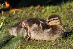 Mallard Duckling Grooming Himself. Young Baby Mallard Duckling Grooming Himself Royalty Free Stock Photo