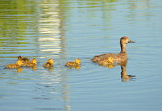 Mallard And Duckling. An image of a mallard and duckling Stock Images