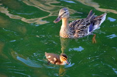 Mallard And Duckling. An image of a mallard and duckling Royalty Free Stock Photos
