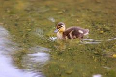 Mallard Duckling Stock Images