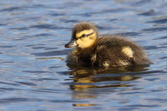 Mallard Duckling. A little mallard duckling swimming on a pond Stock Photo