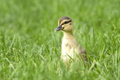 Mallard duckling looking out over the grass. Mallard duckling, anas platyrhynchos, walking in grass at Manito Park in Spokane, Washington Stock Image