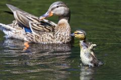 Mallard duckling with mom stock image