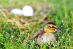 A Mallard Duckling by a Nest. A tiny Mallard duckling sitting in the grass with a nest and eggs in the background Royalty Free Stock Image