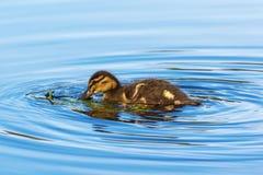 Mallard duckling. Newborn Mallard duckling swimming in the lake Royalty Free Stock Photos