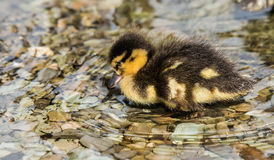 Mallard Duckling. Sad looking Mallard duckling in water Stock Photography