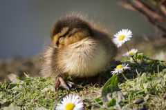 Mallard Duckling. A Mallard Duckling sleeps nearby some daisies Royalty Free Stock Image
